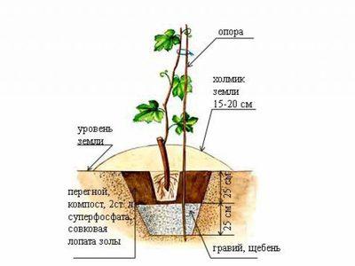 Kак посадить виноград